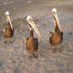 Pélicans sur la plage de Paracas