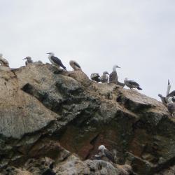 Oiseaux des îles Ballestas