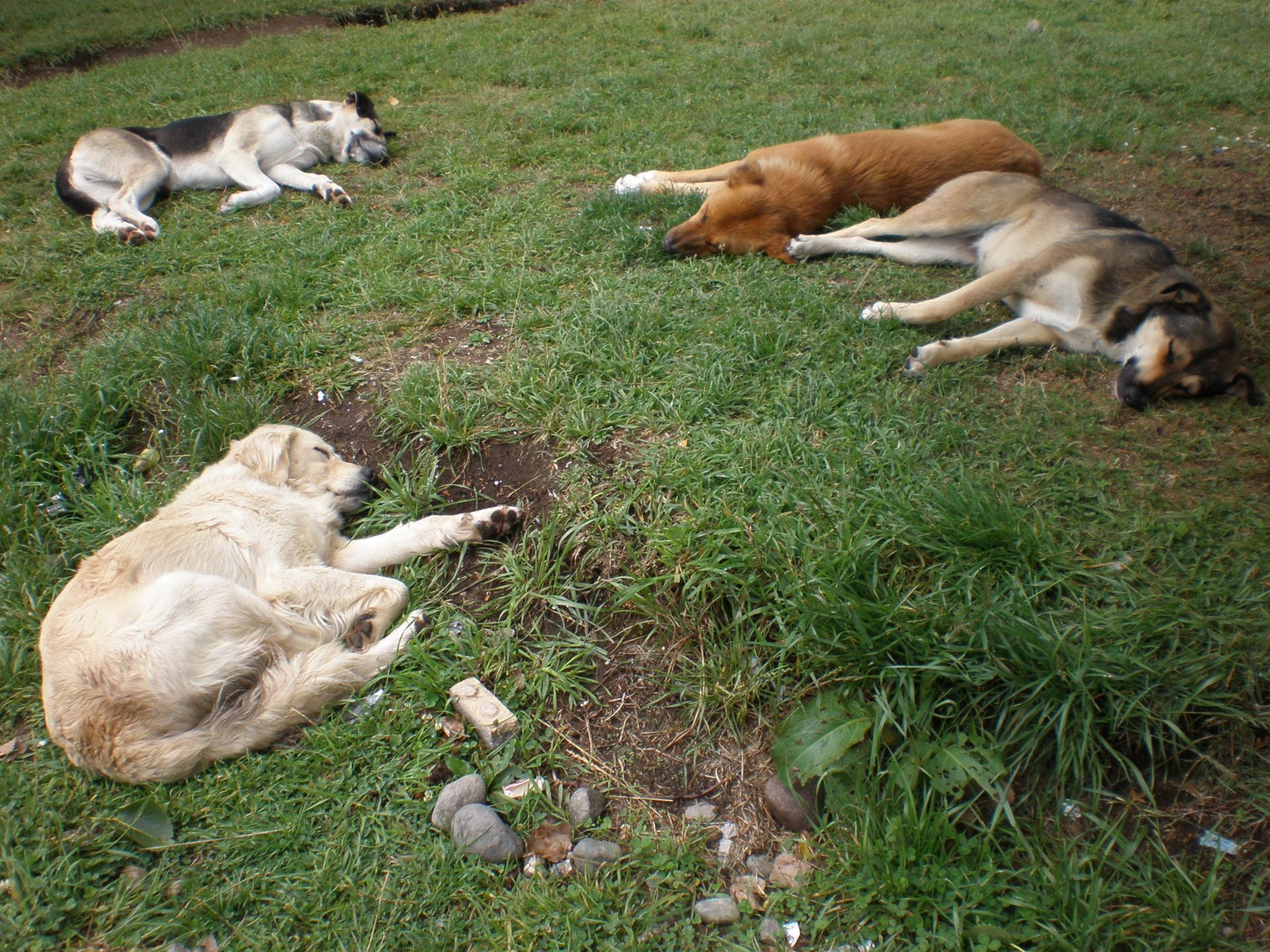 La nonchalence des chiens latinos